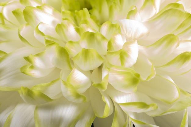 Miękkie zbliżenie białych płatków kwiatów chryzant z ciepłym odcieniem