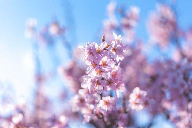 Miękkiej ostrości czereśniowy okwitnięcie lub sakura kwiat na natury tle