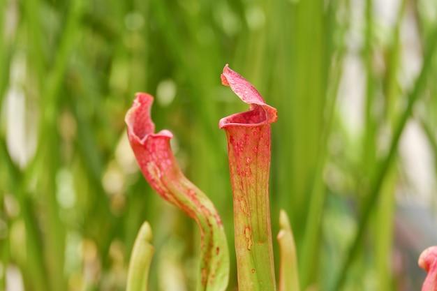 Mięsożerne rośliny dzban sarracenia