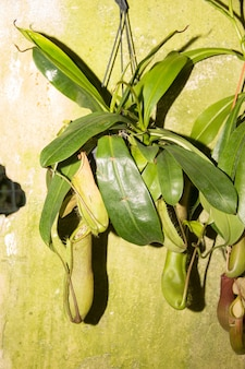 Mięsożerny dzban na rośliny. roślina tropikalna. tropikalna roślina dzban muchołówek, gatunki nepenthes