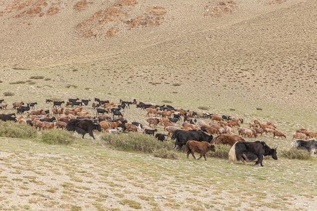 Mieszane stado jaków, owiec i kóz pasie się w górskiej dolinie w ałtaju w mongolii