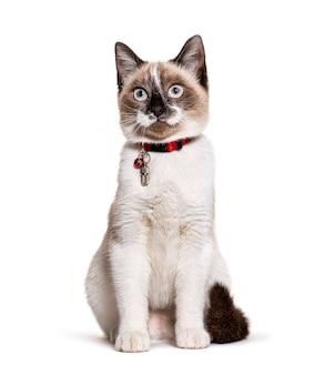 Mieszaniec kota noszącego rurkę z kołnierzem kapsuły do identyfikacji i dzwonek