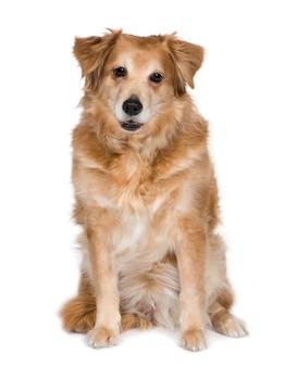 Mieszaniec lub pies mieszany rasy z 12 lat. portret psa na białym tle