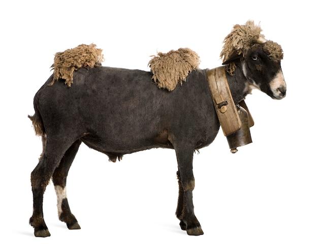Mieszaniec owiec na sobie dzwon