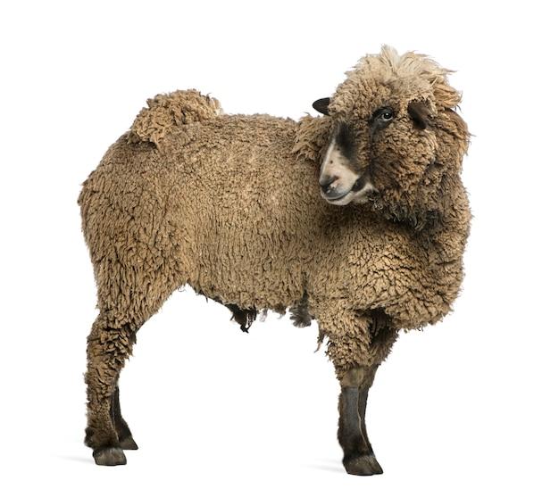 Mieszaniec owiec stojący