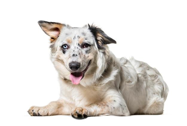 Mieszaniec pies patrzeje kamerę przeciw białemu tłu