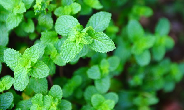 Miętowy liść w ogrodowym tle. świeże liście mięty w przyrodzie zielone zioła lub warzywa żywności