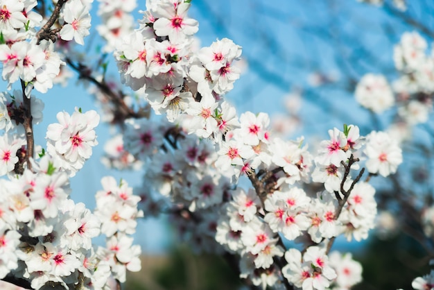 Migdał kwitnie przeciw niebieskiemu niebu na wiosnę