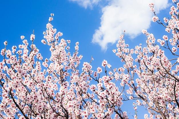 Migdał kwitnie przeciw niebieskiemu niebu