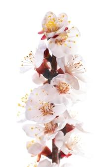 Migdałowe białe kwiaty na białym tle