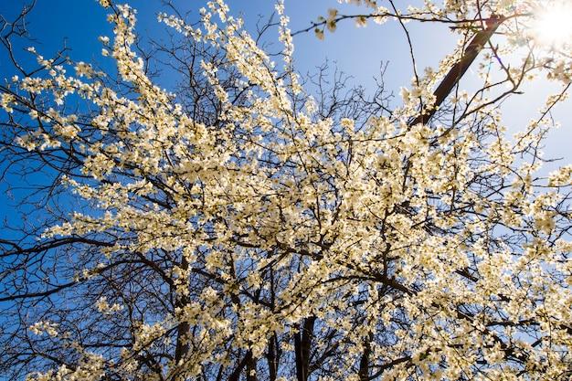Migdałowe kwiaty i gałąź, wiosenny widok drzewa, piękne kwiaty