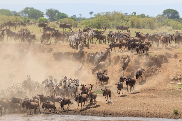 Migracja gnu i zebr w parku narodowym serengeti