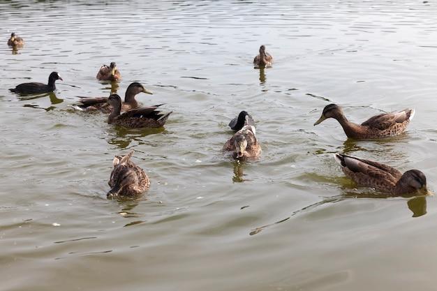 Migrujące dzikie kaczki w europejskich jeziorach, wschodnia europa z dzikimi kaczkami, terytorium jezior i rzek z ptakami i żyjącymi tam kaczkami