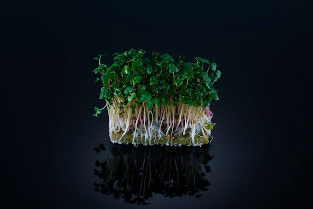 Mikro-zielenie rzodkiewki na rosnącym podłożu na czarnej powierzchni z refleksami, rosnące mikrozielone