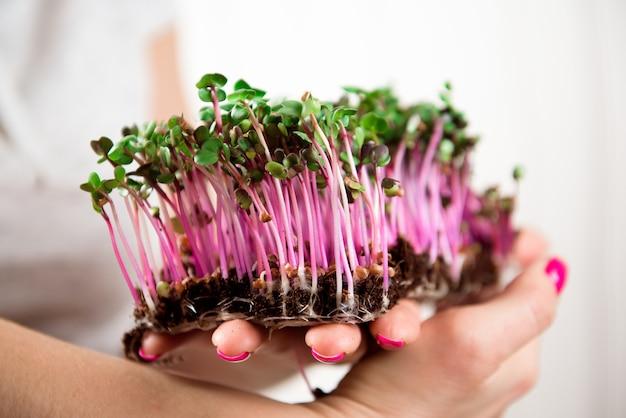 Mikro-zielona zdrowa żywność i zielona trawa. kiełkujące mikroziele.