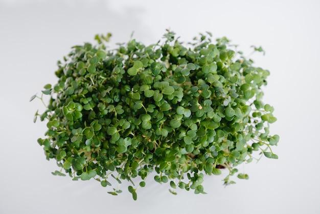 Mikro-zielone kiełki gorczycy z bliska