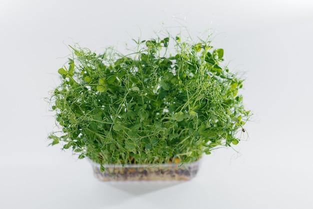 Mikro-zielone kiełki groszku zbliżenie na białym tle w doniczce z glebą. zdrowa żywność i styl życia.