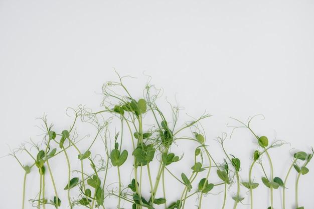 Mikro-zielone kiełki zbliżenie na białym z wolnej przestrzeni.