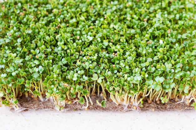 Mikro-zielone. porośnięte nasiona gorczycy na stole. widok z góry.