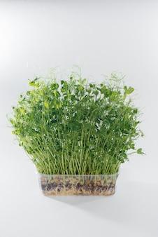 Mikro-zielonego groszku kiełkuje zbliżenie na białym tle w puli z glebą