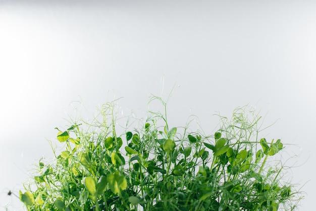 Mikro-zielony groszek kiełkuje zbliżenie na białej powierzchni w garnku z glebą. zdrowa żywność i styl życia.