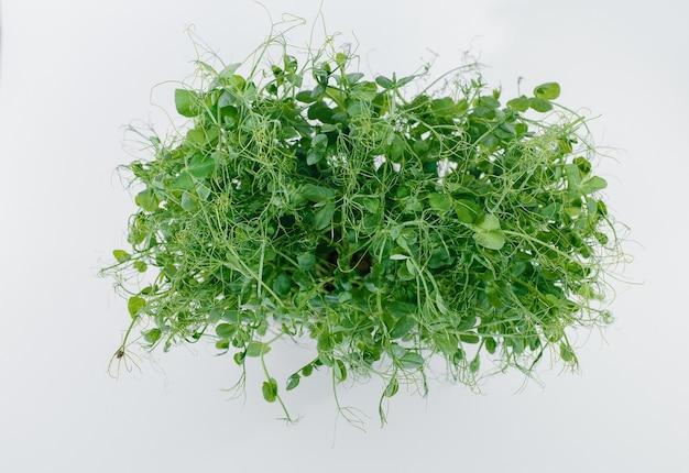 Mikro-zielony groszek kiełkuje zbliżenie na białym w garnku z glebą.