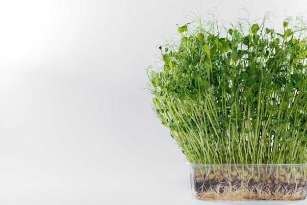Mikro-zielony groszek kiełkuje zbliżenie na białym w garnku z glebą