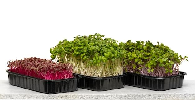 Mikrogreeny kiełki na białym tle. organiczne kiełkowanie nasion mikrozielonych w domu. koncepcja wegańskiego i zdrowego odżywiania.