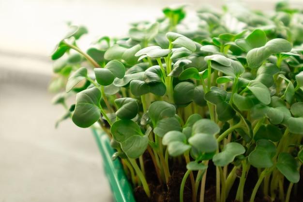Mikrozielone rosnące na parapecie mikro zielona rzodkiew rosnąca w skrzynkowej selektywnej ostrości