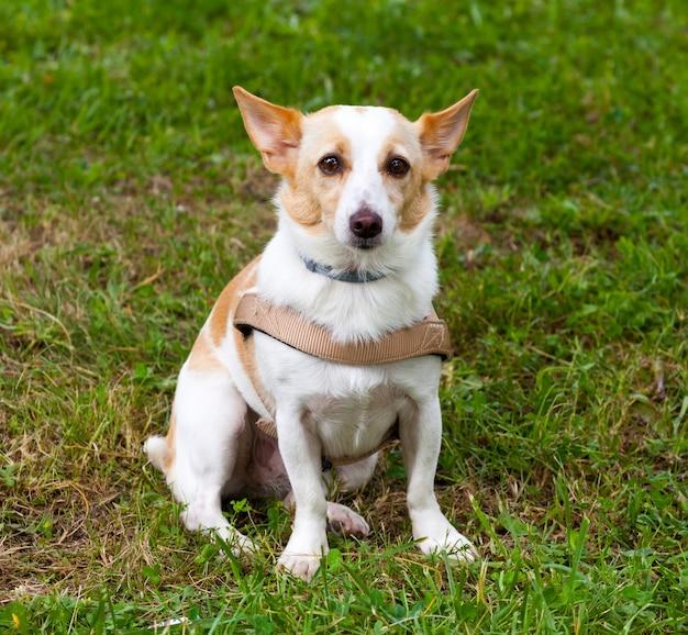 Miły pies kundel siedzi na trawie w parku.
