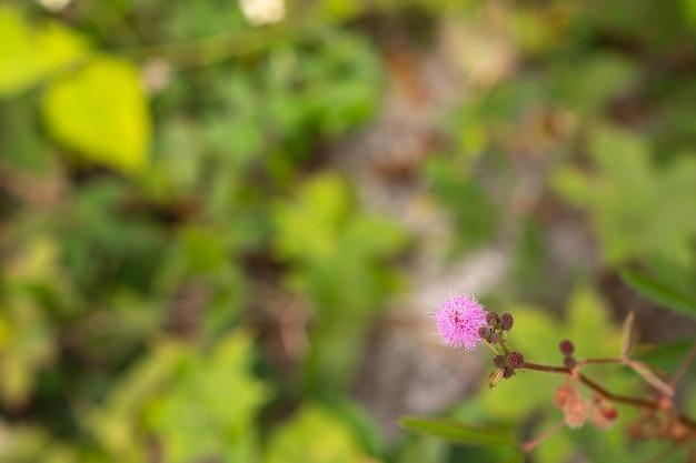 Mimosa pudica mimosa pigra z rodziny fabaceae na niewyraźnym zielonym tle