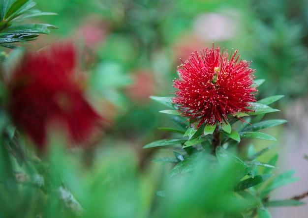 Mimosa pudica (wrażliwa roślina, śpiąca roślina, shameplant, nieśmiała roślina, nie dotykaj mnie) czerwony blo