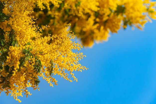 Mimozy wiosna kwitnie przeciw niebieskiego nieba tłu. kwitnący mimozy drzewo nad niebieskim niebem, jaskrawe słońce