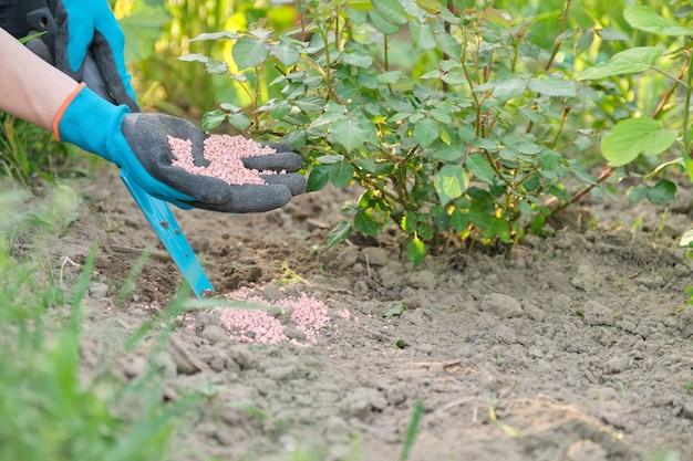 Mineralny nawóz chemiczny granulowany w rękach kobiety pracującej w ogrodzie wiosną
