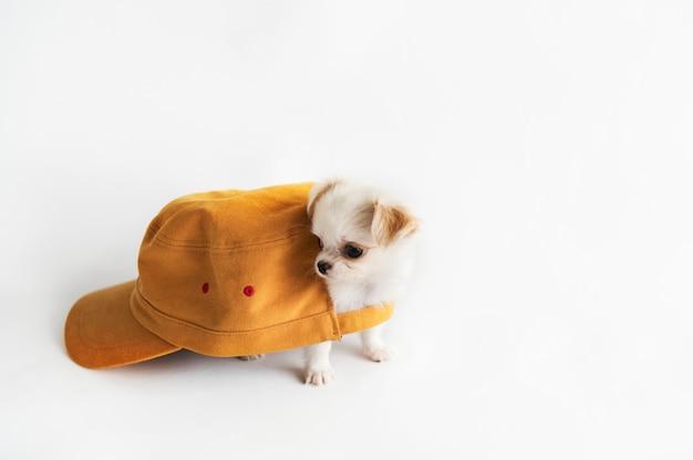 Miniaturowe chihuahua dog concept