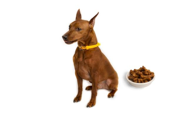 Miniaturowy brązowy pinczer z żółtym kołnierzem. miska karmy dla psów. kości psa. tło białe studio. zdjęcie wysokiej jakości