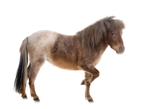 Miniaturowy koń falabella