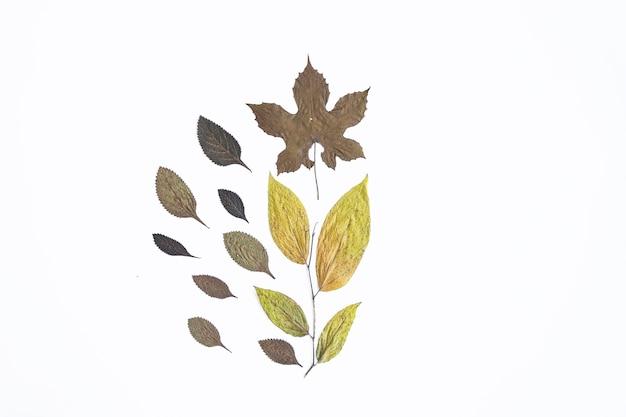 Minimalistyczna koncepcja jesień. suszone liście na białym tle papieru