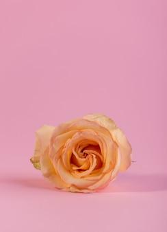 Minimalistyczna martwa natura z pojedynczą delikatną różową różą na kolorowym tle