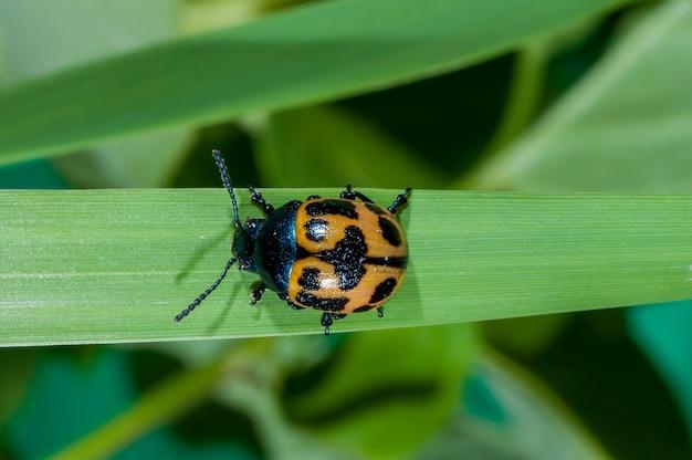 Minnesota. chrząszcz z liści bagien, labidomera clivicollis. czołganie się po wierzchołku łodygi trawy.