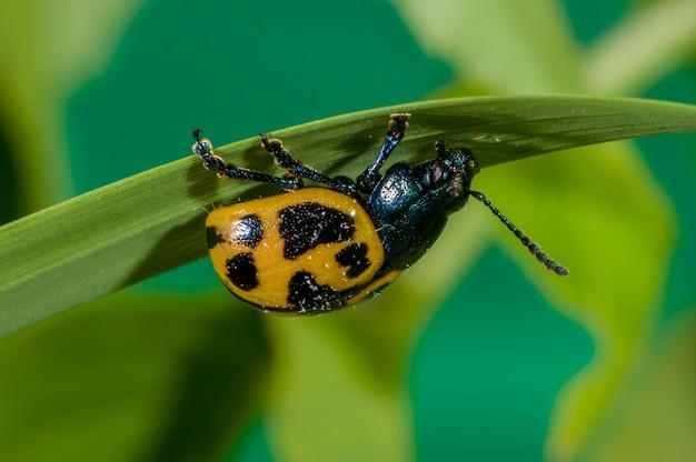 Minnesota. chrząszcz z liści bagien, labidomera clivicollis. wiszące na spodniej stronie łodygi trawy.