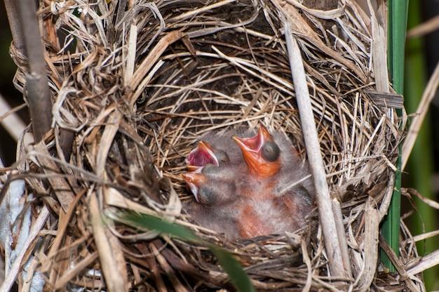 Minnesota. czerwonoskrzydły kos, gniazdo pełne nowiutkich piskląt błagających o jedzenie