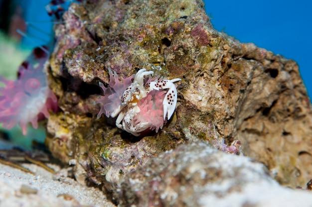 Minnesota. krab akwariowy. porcelanowy krab zawilec, neopetrolisthes ohshimai z ukwiałami morskimi.