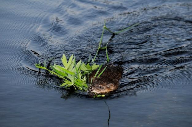 Minnesota. park regionalny jeziora vadnais. piżmak zbierający roślinność na pożywienie i legowisko.