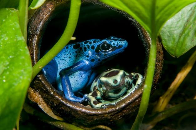 Minnesota. wystawa tropikalnych lasów deszczowych. niebieska trująca strzałka żaba zielona i czarna trująca strzałka żaba,