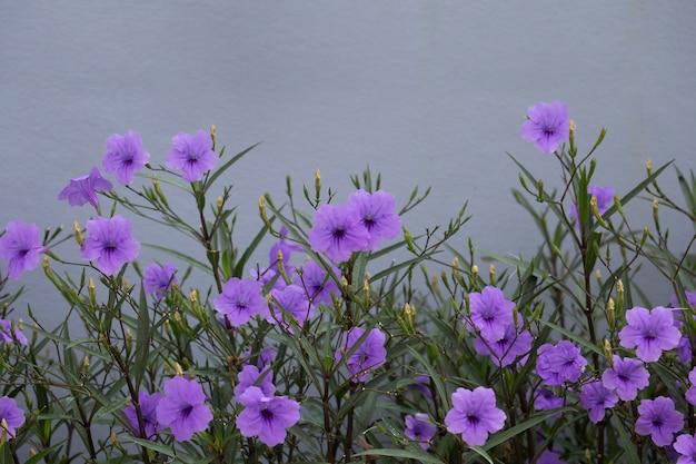 Minnieroot lub popping strąk lub krakers roślina kwitną w ogródzie z przestrzenią.