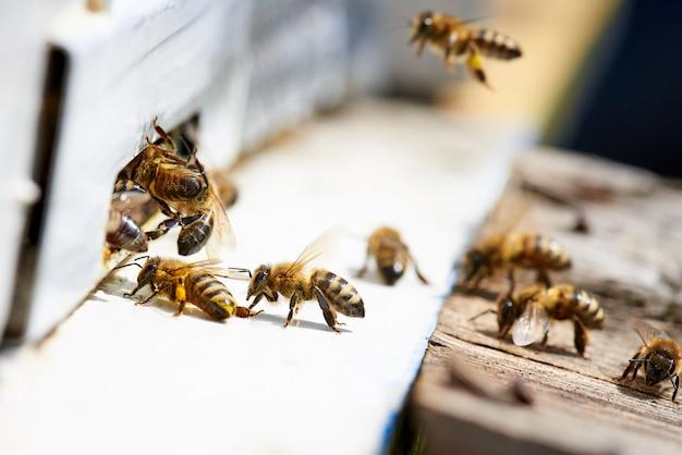 Miodowa pszczoła w wejściu do drewnianego ula.