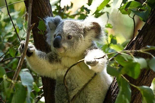 Miś koala przyrody dzikich zwierząt zoo
