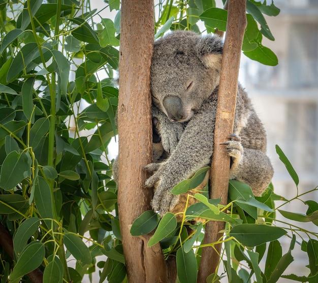 Miś koala śpiący strzał w sydney