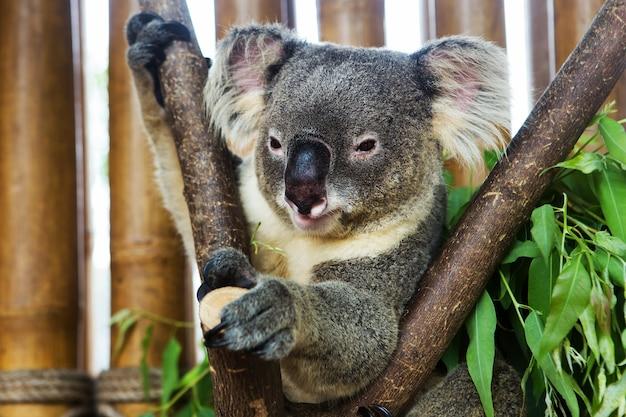 Miś koala w zoo
